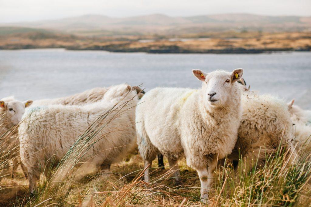troupeau de moutons dans paysage irlandais